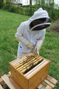 Une ruche d'abeilles pour les visites avec la ville de Bischheim